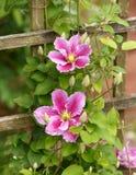 Grandi fiori delle clematidi Piilu nel giardino di estate fotografia stock libera da diritti