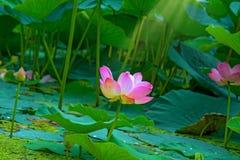 Grandi fiori di loto germogli rosa luminosi del fiore di loto che galleggiano nel lago Immagini Stock