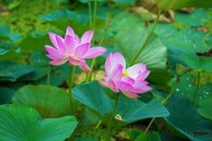 Grandi fiori di loto germogli rosa luminosi del fiore di loto che galleggiano nel lago Immagini Stock Libere da Diritti