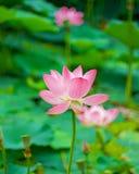 Grandi fiori di loto germogli rosa luminosi del fiore di loto che galleggiano nel lago Fotografie Stock