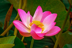 Grandi fiori di loto germogli rosa luminosi del fiore di loto che galleggiano nel lago Fotografie Stock Libere da Diritti