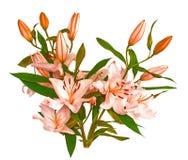 Grandi fiori di un giglio, primo piano, fondo bianco isolato Fotografie Stock Libere da Diritti