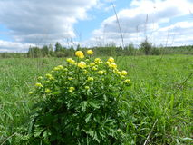 Grandi fiori gialli Immagine Stock Libera da Diritti