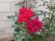 Grandi fiori rosa fotografia stock libera da diritti
