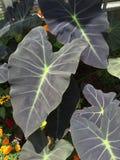 Grandi foglie Immagini Stock