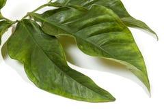 Grandi foglie decorative allegate al gambo verde Immagine Stock Libera da Diritti