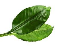 Grandi foglie del giglio di pace o di Spathiphyllum, fogliame tropicale isolato su fondo bianco, con il percorso di ritaglio fotografia stock libera da diritti