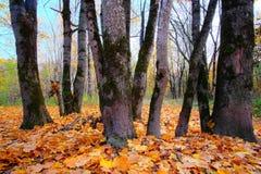 Grandi foglie di acero che sono caduto dagli alberi nel parco Fotografia Stock