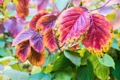 Grandi foglie di autunno rosse Immagine Stock