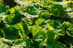 Grandi foglie verdi della bardana Fotografia Stock