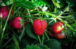 Grandi fragole nazionali in Sudafrica Fotografia Stock Libera da Diritti