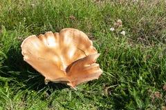 Grandi funghi su un prato nell'erba Raccolto di autunno dei funghi Nome latino - giganteus di Leucopaxillus Immagini Stock