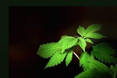 Grandi germogli verdi della canapa immagini stock