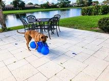grandi giochi felici del cane con un pallone Fotografie Stock
