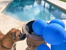 grandi giochi felici del cane con un pallone Immagine Stock Libera da Diritti