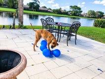 grandi giochi felici del cane con un pallone Fotografia Stock