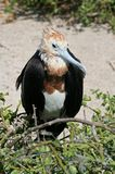Grandi giovani di frigatebird, Galapagos fotografia stock