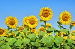 Grandi girasoli gialli nel campo contro il cielo blu Primo piano agricolo delle piante L'estate fiorisce l'asteraceae della famig Fotografia Stock Libera da Diritti