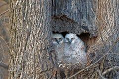 Grandi gufi cornuti del bambino che guardano dal loro nido Fotografie Stock