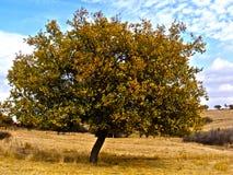 Grandi immagini dell'albero di albicocca di IInteresting per il logo ed i disegni pubblicitari Fotografia Stock Libera da Diritti