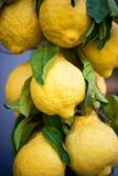 Grandi limoni gialli con le foglie, appendenti Fotografie Stock
