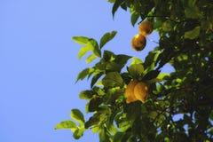 Grandi limoni maturi, giallo e verde sul blu fotografie stock