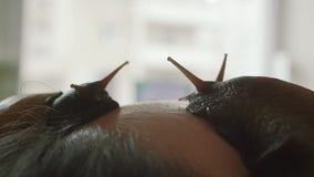 Grandi lumache sul fronte La giovane donna alla stazione termale riceve un massaggio facciale con le lumache Achatina Le lumache  stock footage