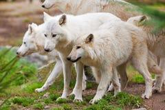 Grandi lupi artici adulti Fotografia Stock