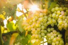 Grandi mazzi di uva gialla nel giardino al tramonto Fotografie Stock Libere da Diritti