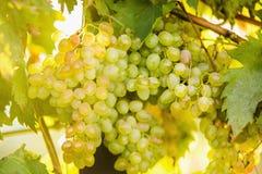 Grandi mazzi di uva gialla nel giardino al tramonto Fotografia Stock Libera da Diritti