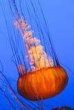Grandi meduse Immagini Stock