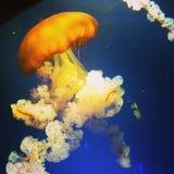 Grandi meduse Immagini Stock Libere da Diritti