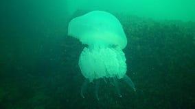 Grandi meduse nel Mar Nero, pulmo di Rhizostoma, galleggiante nella colonna di acqua stock footage