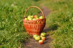Grandi mele mature verdi in un canestro di vimini alla conclusione di estate al sole nell'erba verde nel giardino Immagine Stock Libera da Diritti