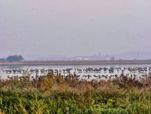 Grandi moltitudini comuni della gru, gru di gru nel parco nazionale della GY del ¡ di HortobÃ, Ungheria immagini stock
