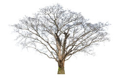 Grandi morti anziani dell'albero isolati su fondo bianco Fotografia Stock Libera da Diritti