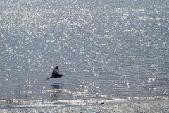 Grandi mosche dell'airone blu vicino all'acqua; fotografia stock