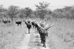 Grandi mucche cornute in Africa Immagini Stock Libere da Diritti
