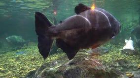 Grandi nuotate del pesce dopo le rocce nelle profondità contro il fondo pietroso video d archivio