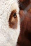 Grandi occhi con i cigli Fotografie Stock Libere da Diritti