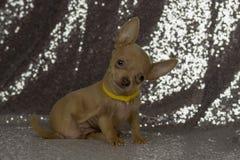 Grandi orecchie del cucciolo minuscolo sveglio della chihuahua Fotografia Stock Libera da Diritti