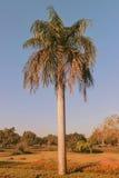 Grandi palme nel giardino Fotografia Stock Libera da Diritti
