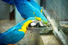 Grandi pappagalli blu immagine stock