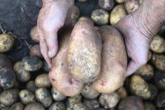 Grandi patate fresche in mani dell'agricoltore Fotografie Stock Libere da Diritti