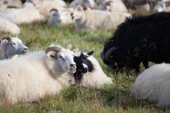 Grandi pecore bianche e nere sveglie della ram nel gregge con i corni lunghi che vi esaminano vicino su fotografie stock