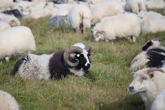 Grandi pecore bianche e nere sveglie della ram nel gregge con i corni lunghi che vi esaminano vicino su immagini stock libere da diritti