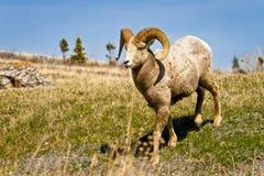 Grandi pecore cornute maschii fotografie stock libere da diritti