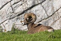 Grandi pecore del corno Immagini Stock Libere da Diritti