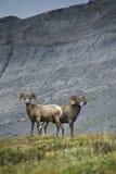 Grandi pecore del corno Fotografia Stock