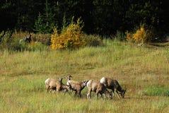 Grandi pecore del corno Fotografie Stock Libere da Diritti